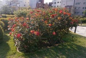 rose1605_1